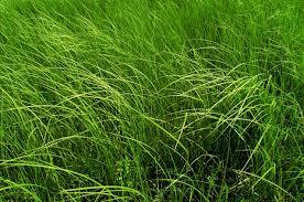 Kupić Nasiona traw