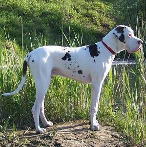 Kupić Dog niemiecki DIDEROT Platinum