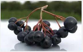 Kupić Sadzonki aronii czarnoowocowej