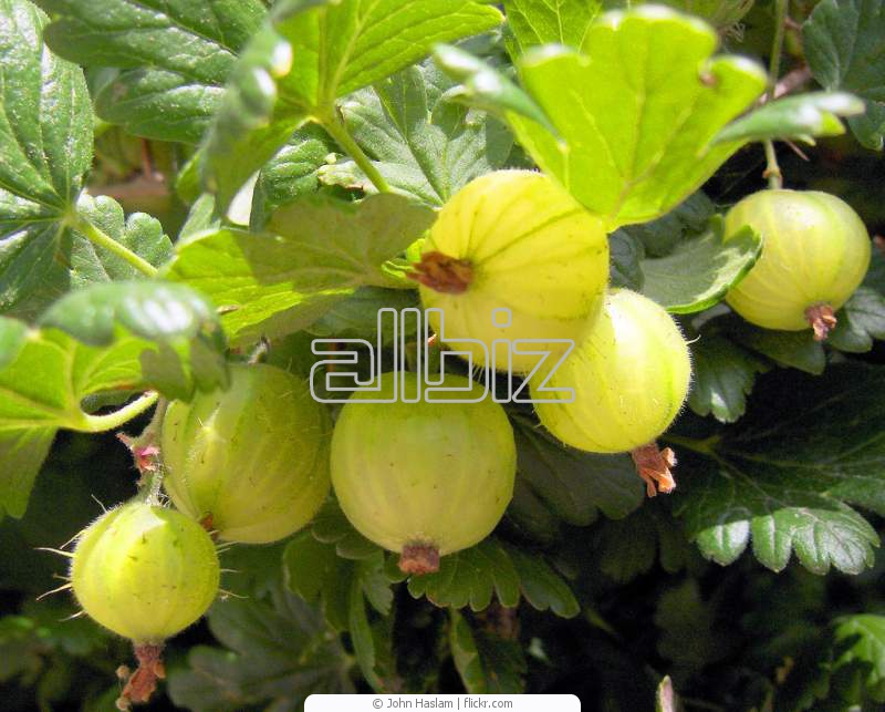 Kupić Sadzonki agrestu; krzewy agrestu i agrestoporzeczki