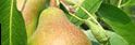 Kupić Sadzonki gruszy - Bergamotka Złocista