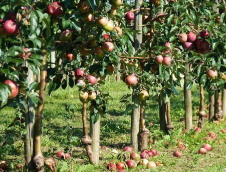 Kupić Jabłonie, drzewko jabłoni, jabłonki, sadzonka