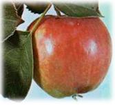 Kupić Jabłoń