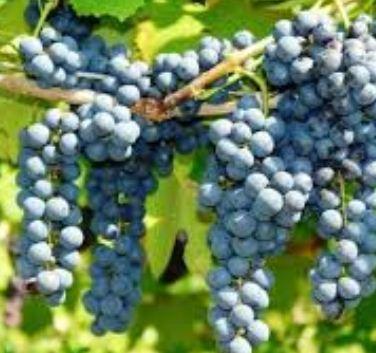 Kupić Sadzonki winorośli rożnych odmian