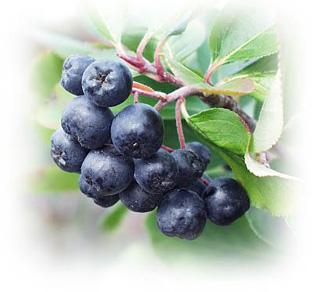 Kupić Aronia czarnoowocowa - owoce mrożone z certyfikatem EKO