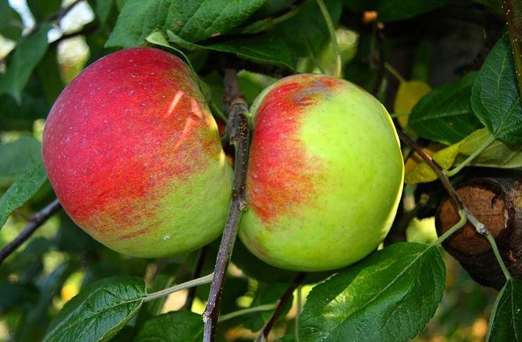 Kupić Jabłka z Polski - różne odmiany