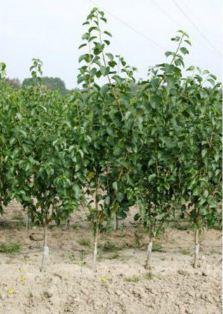 Sadzonki wiśni, drzewka wiśniowe