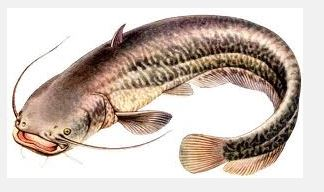 Ryby, szeroka oferta ryb słodkowodnych