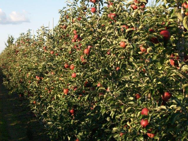 Kupić Jabłka polskich odmian na eksport