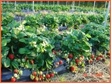 Kupić Sadzonki truskawek odmiana powtarzająca owocowanie Evie 2.
