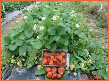 Kupić Sadzonki truskawek odmiana powtarzająca owocowanie Florin.