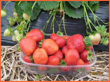 Kupić Sadzonki truskawek odmiana powtarzająca owocowanie Floriante.