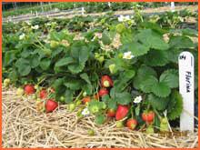 Kupić Sadzonki truskawek odmiana powtarzająca owocowanie Florina.
