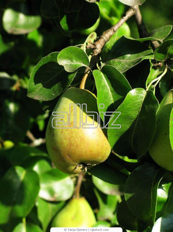 Kupić Sadzonki drzew owocowych