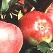 Kupić Jabłka Gloster