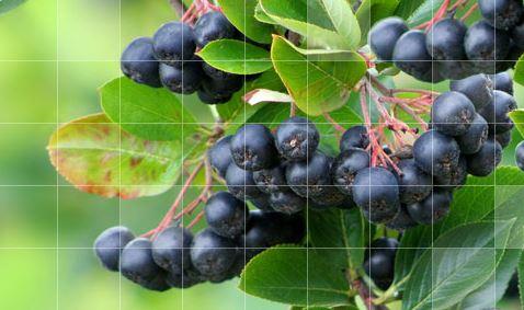 Kupić Sprzedam koncentrat Aroniowy BIO Ekologiczny, oraz owoce aronii czarnej
