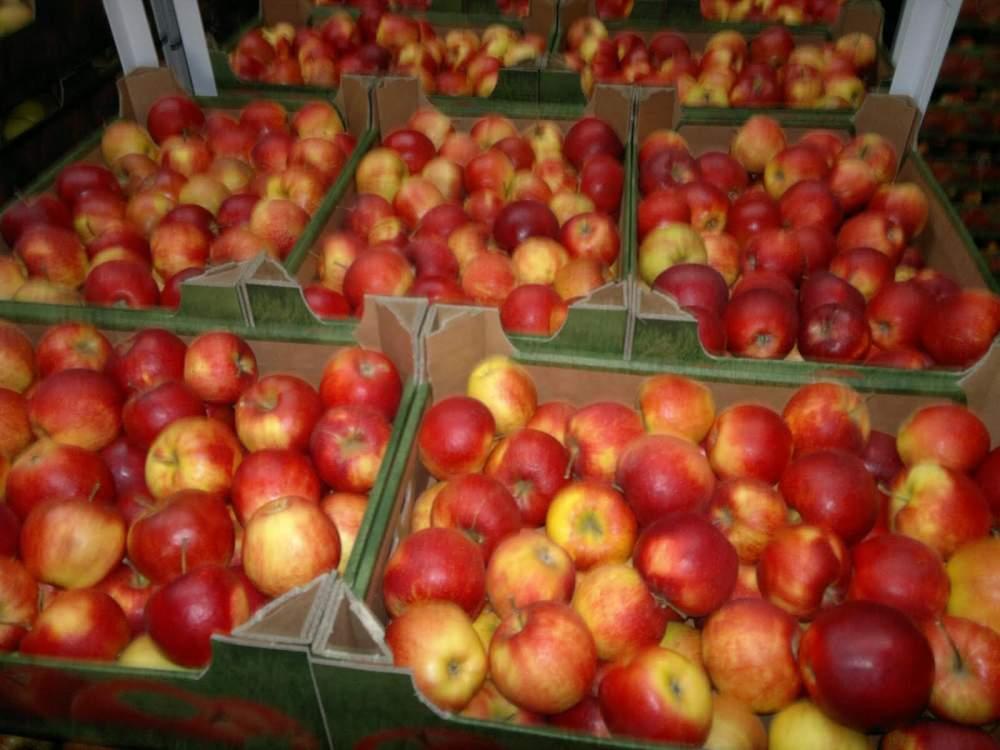 Купить Польские яблоки Айдареда, в большом количествах в течение года !!!