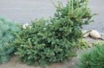 Kupić Dzewo