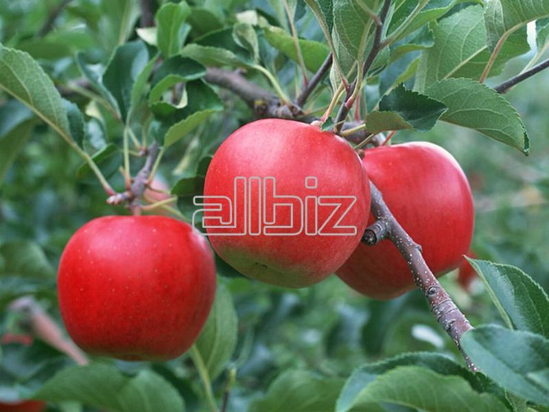 Kupić Jabłka różnych odmian, jabłka
