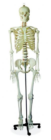 Kupić Szkielet człowieka 180cm-Nowość