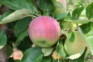 Kupić Jabłka Early Geneva