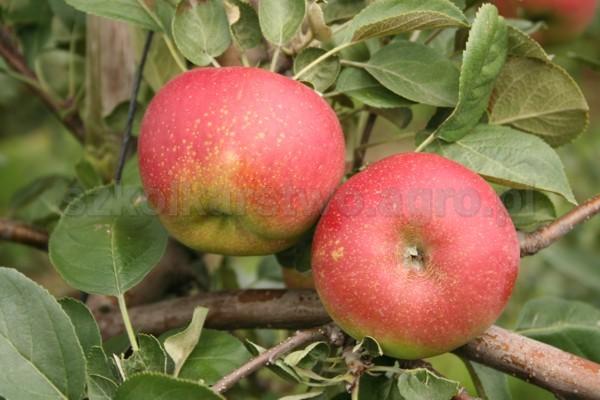 Kupić Jabłka odmiany Redkroft