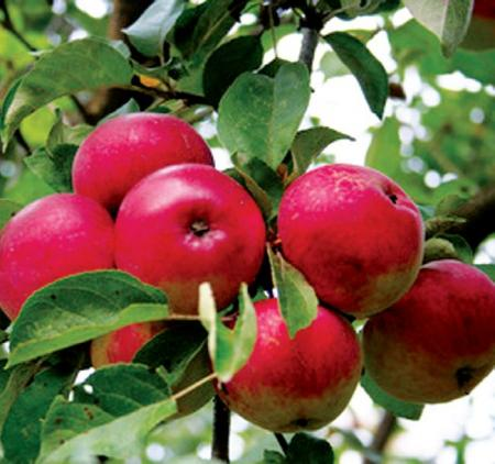 Kupić Polskie jabłka Lobo na export