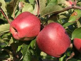 Kupić Polskie jabłka Gloster na eksport