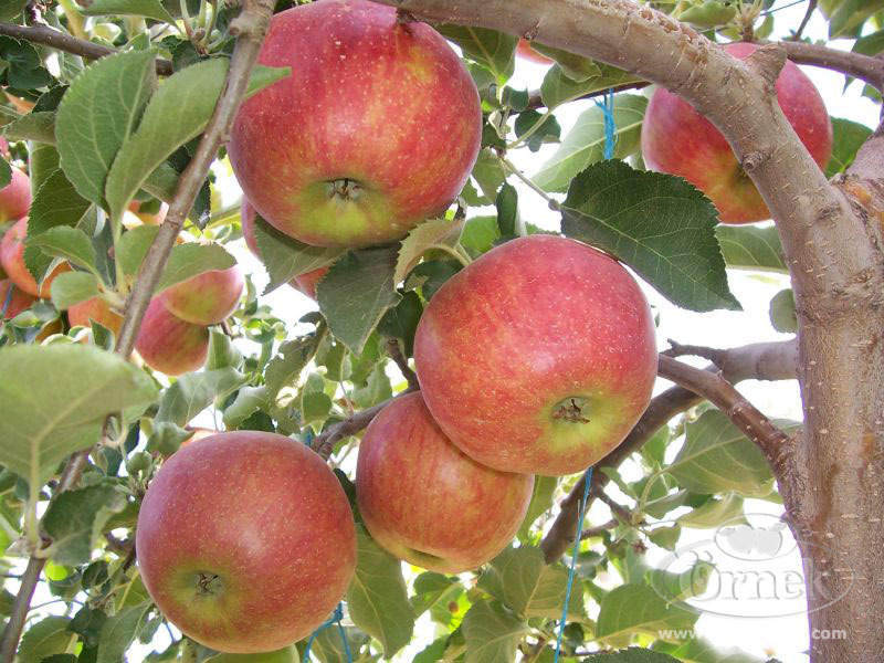Kupić Polskie jabłka jonagored