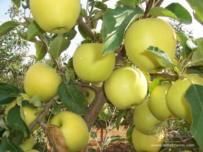 Kupić Jabłka Golden Delicious na eksport