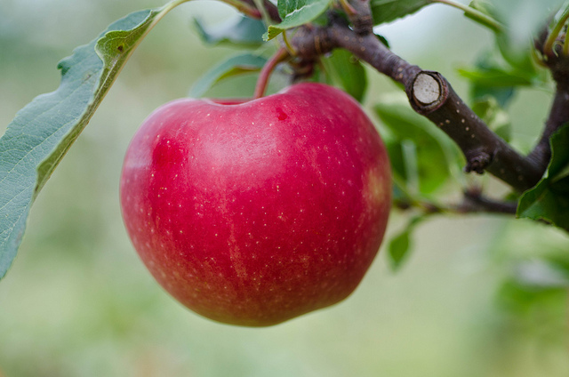 Kupić Polskie jabłka Gala na eksport