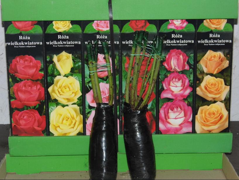 Kupić Róża wielkokwiatowa mix kolorów( 6 odmian po 4 sztuki)