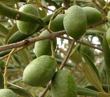 Kupić Wytłoki oliwne, pestki oliwek