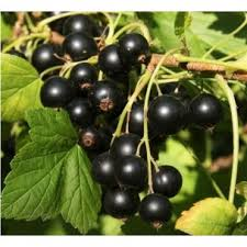 Buy Blackcurrant