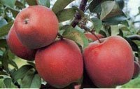 Buy Apples GLOSTER