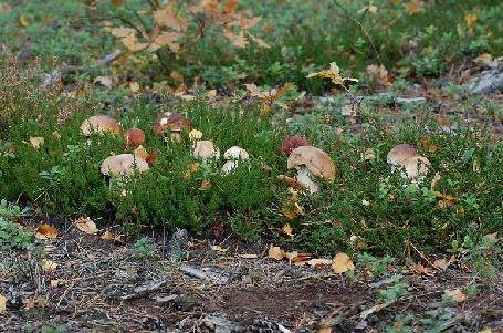 Kupić Runo leśne z grzybami - prawdziwki