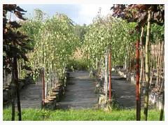 Kupić Drzewa alejowe i ozdobne