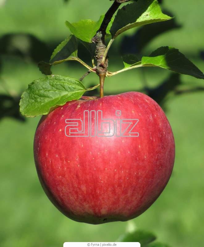 Kupić Jabłka lobo