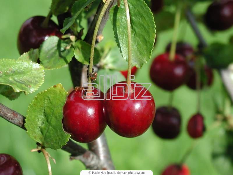 Kupić Wiśnie na eksport