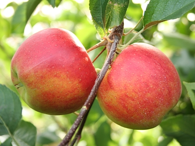 Kupić Jabłka Elstar na eksport
