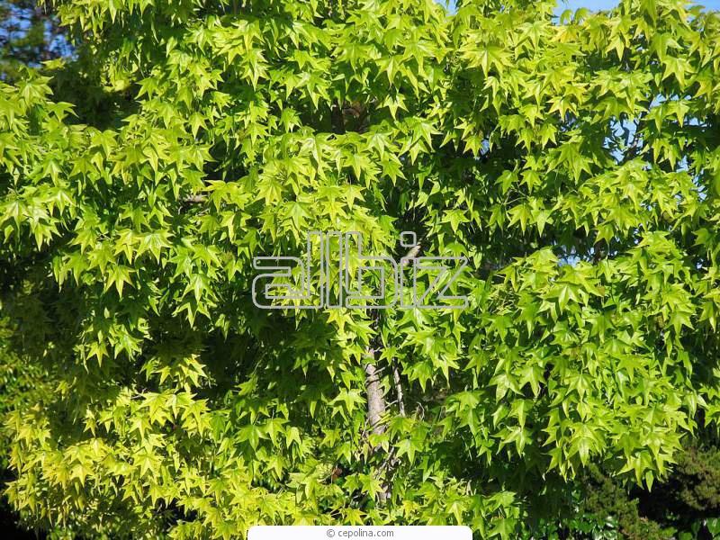 Kupić Sadzonki drzew ozdobnych