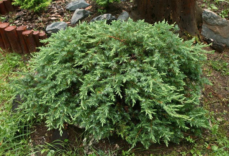 Kupić Juniperus conferta