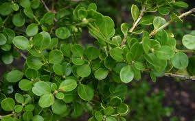 Buxus microphyle