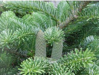Kupić Sadzonki drzew iglastych
