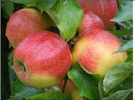 Kupić Sadzonki jabłoni Jonagored