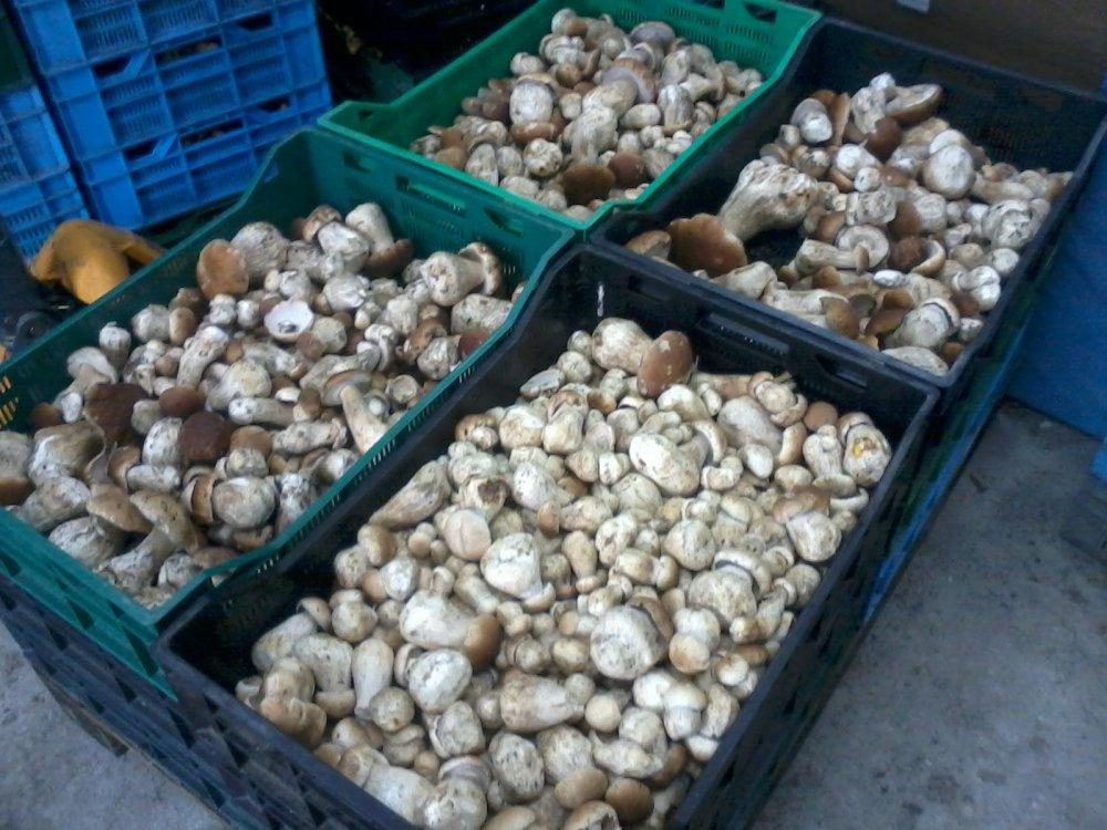 Kupić Borowik szlachetny - boletus edulis mushrooms