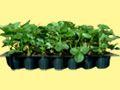 Kupić Sadzonki truskawek doniczkowane