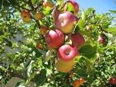 Fruit trees - apples, pears, plums, cherries, apricots, peaches, gooseberries foaming and bushy