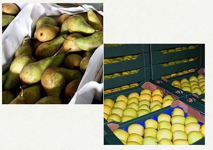 Kupić Jabłka polskie, gruszki polskie, polskie owoce na eksport