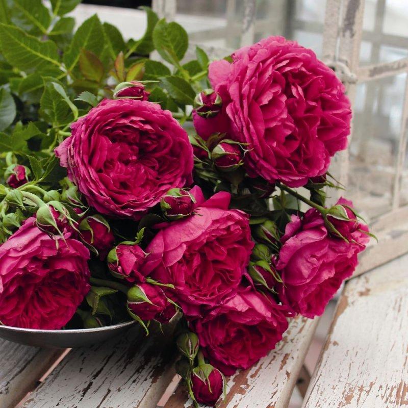 Kupić Krzewy róż Roses